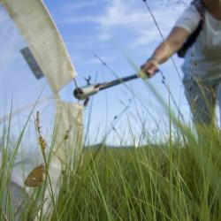 Barjanski okarček ujet v mrežo. Foto: Janez Tarman